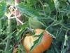 pomodori-2