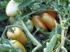 pomodori-3
