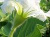 fiore-zucca